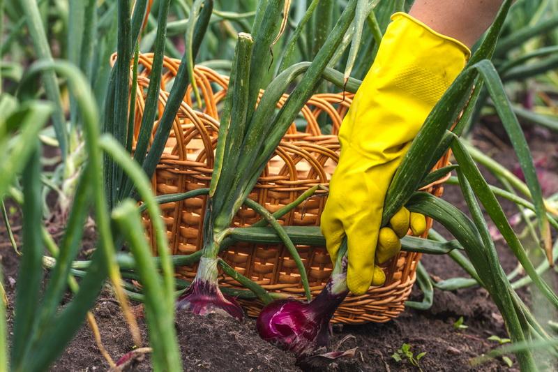 Лук под зиму – выбираем сорта овощной культуры