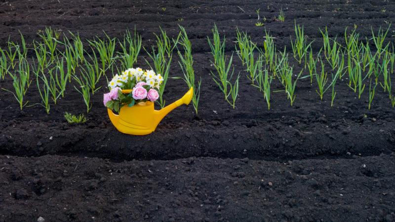Чем подкормить лук, чтобы получить крупные луковицы