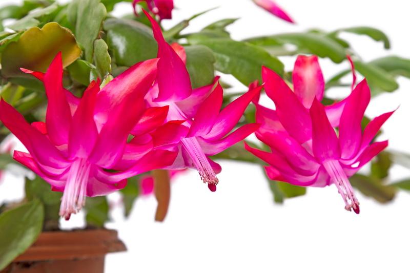 Цветок рождественник - подарок за верность и заботливый уход