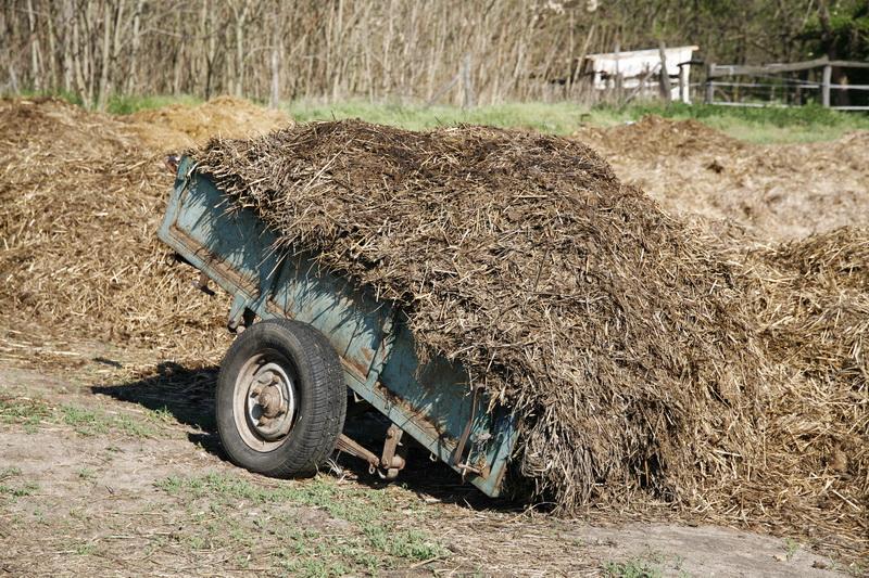 Коровий навоз как удобрение – в каком виде его использовать