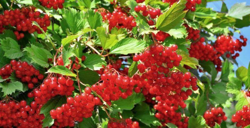Декоративные ягодные кустарники в ландшафтном дизайне