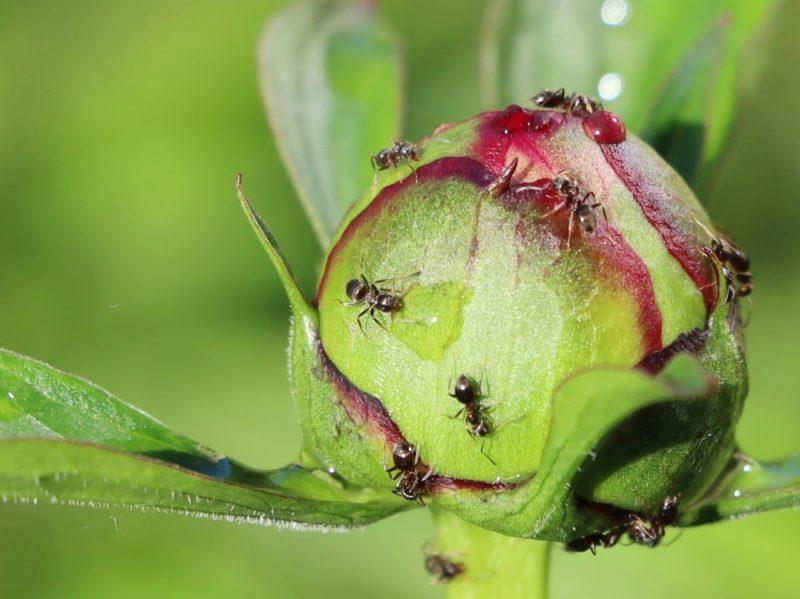 Как можно избавиться от муравьев на участке быстро