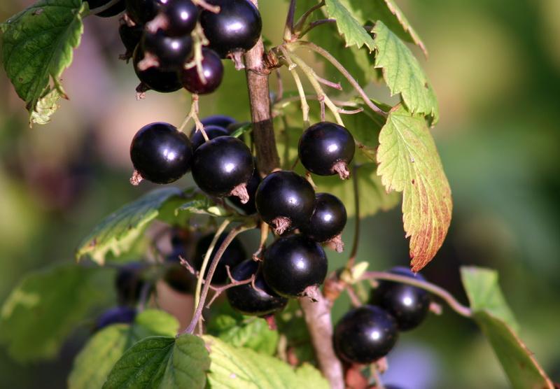 Осенняя подкормка черной смородины: 6 способов подготовиться к зиме