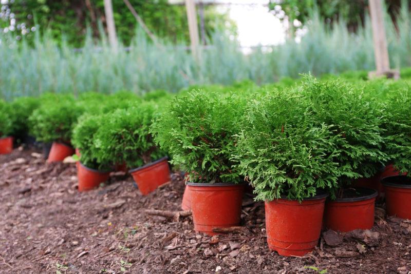 Дерево жизни — туя. Уникальное растение для сада