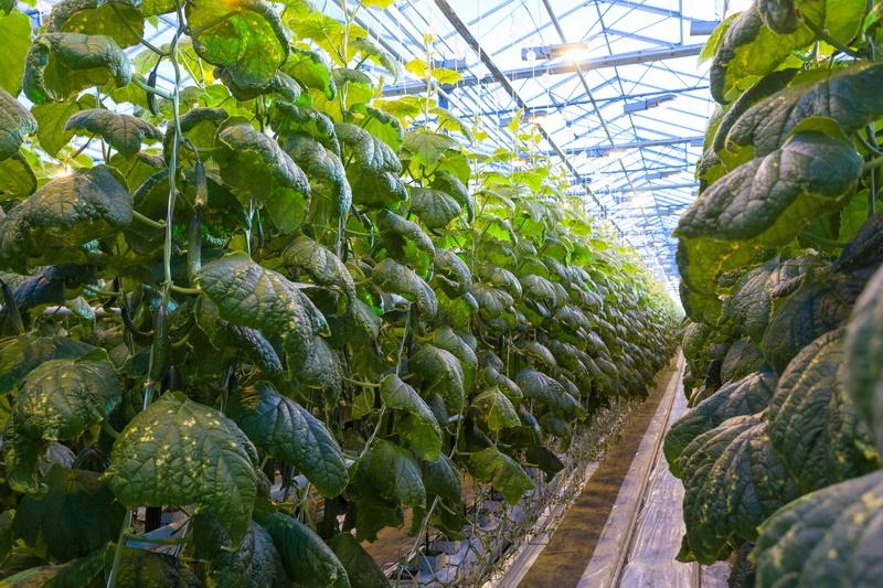 Огурцы: лучшие сорта для тепличного выращивания