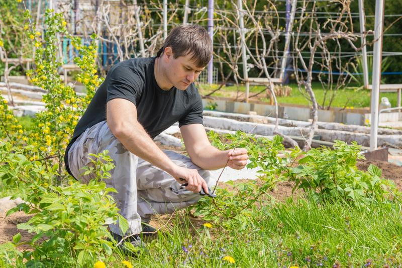 Методика двойной обрезки малины и весенний уход за кустарником