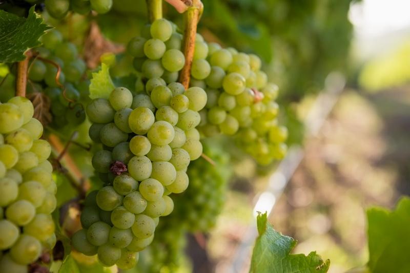 Виноград Долгожданный — для тех, кто любит пораньше лакомиться нежными ягодами без косточек. Делюсь всеми Секретами выращивания