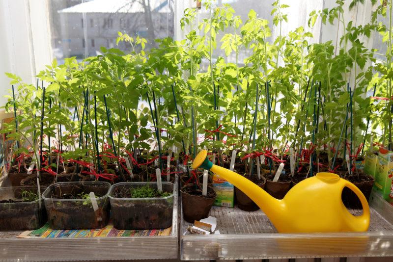 Выращиваем помидоры дома. Сочные томаты на окне круглый год