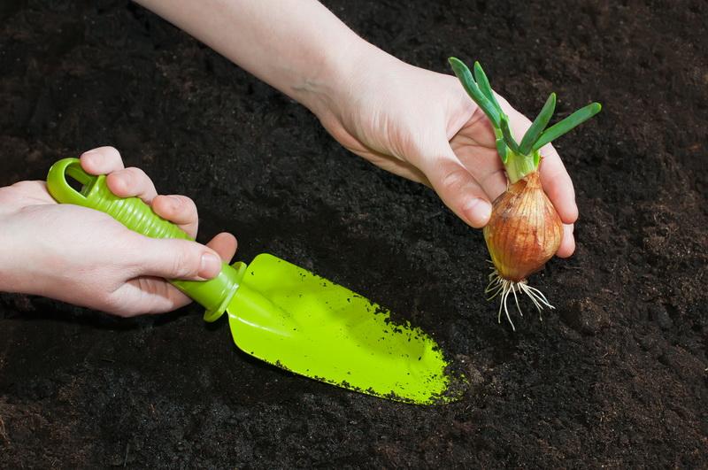 Как получить хороший урожай лука: садим на зиму