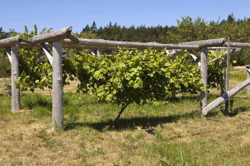 Правильная высадка и верный уход за виноградником для получения богатого урожая