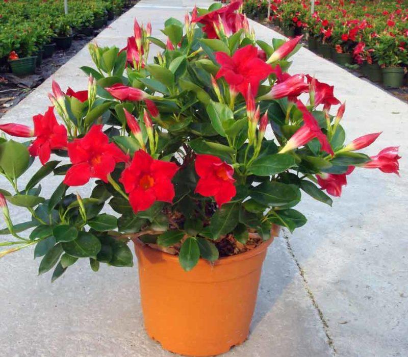 Дипладения: что означает имя цветка, как за ним ухаживать