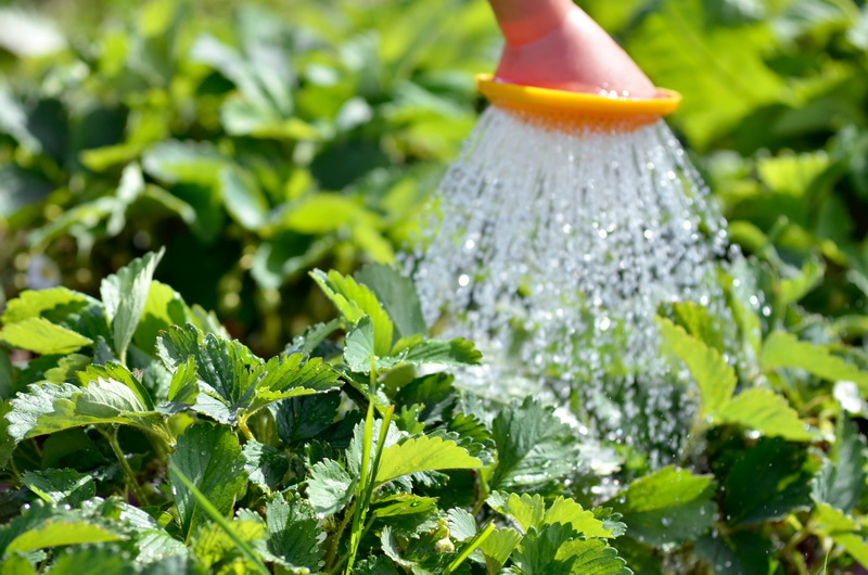 Как вырастить урожай красивой и крупной клубники на даче: методы