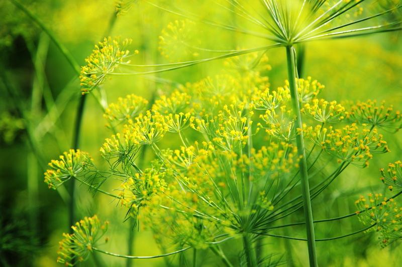 Укроп, петрушку, сельдерей посадите поскорей, пусть растут они в теплице, зимою зелень пригодится — что из растений посадить в теплицу