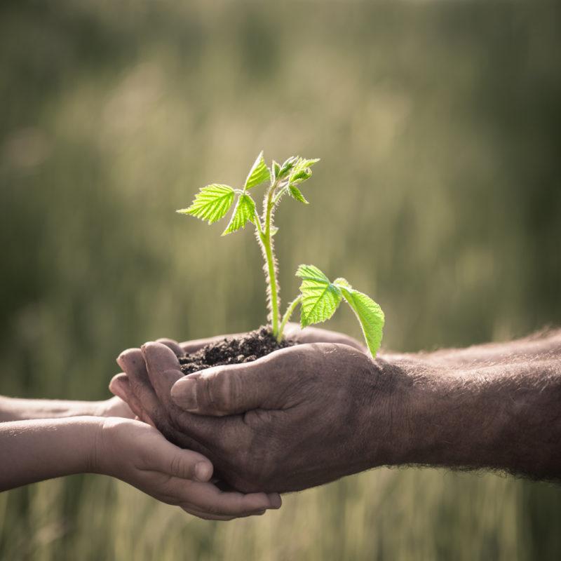 Всегда собираю щедрые урожаи малины, и помогает мне в этом осенняя подкормка. Рассказываю, как я ее провожу