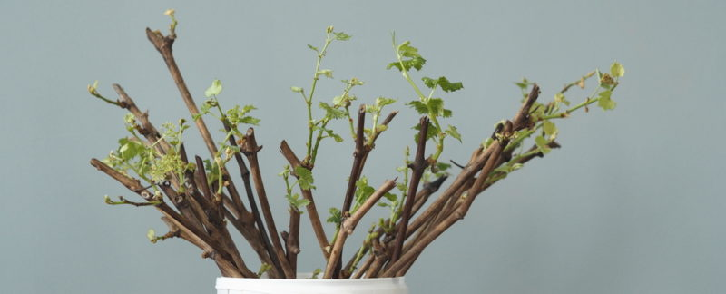 Выращивание виноградного сорта Лора и обеспечение ухода за ним: раскрываю особенности процедур, которые подарят отличный урожай