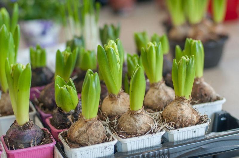 Как из луковицы вырастить здоровое и красивое растение. Рассказываю о правилах ухода за луковичными цветами
