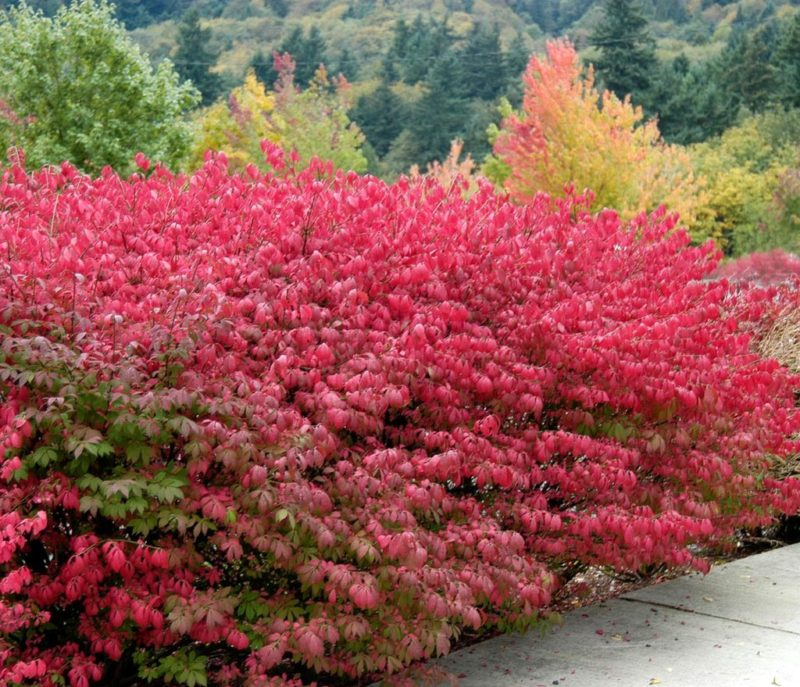 Красота осеннего сада — бересклет. Сорта и правила ухода за ним