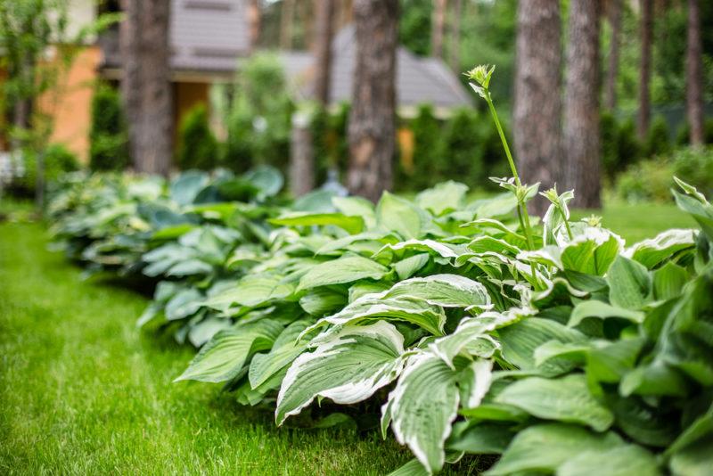 Хоста (функия) — красота, оживляющая любой тенистый сад. Правила посадки и ухода за многолетником