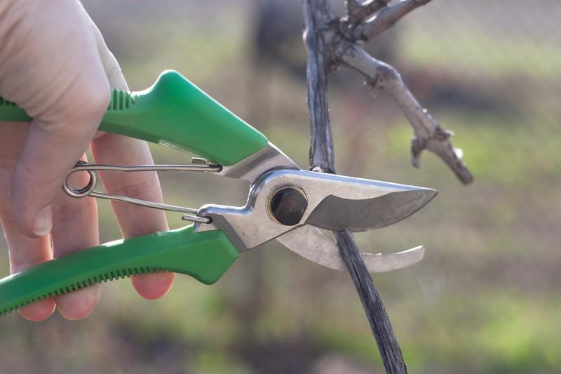 Скоро зима — пора обрезать виноград. Как сделать это правильно и не навредить