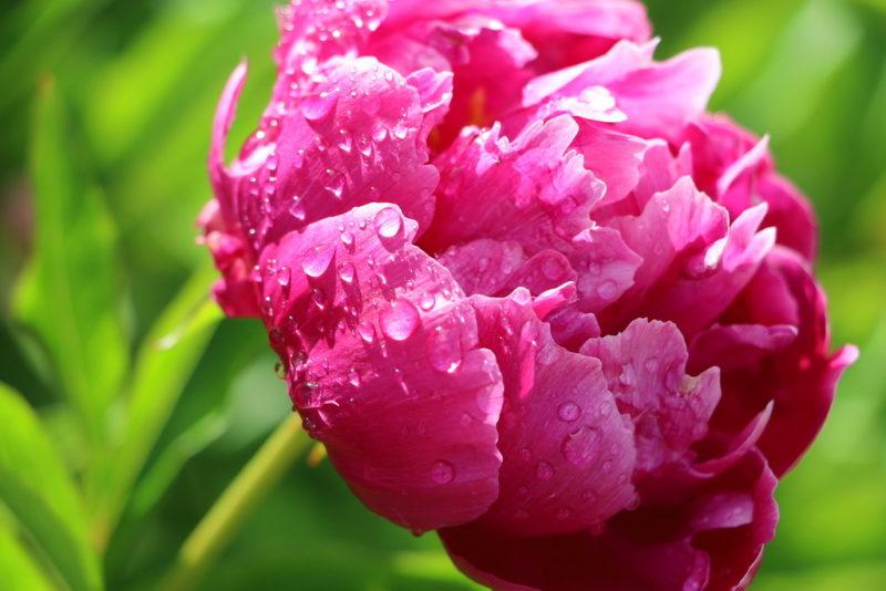 Укрытие древовидного пиона на зиму — залог обильного цветения в следующем сезоне