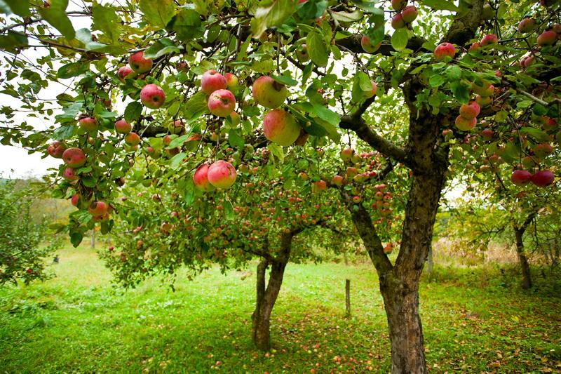 Не забываем о деревьях осенью — что надо сделать обязательно, чтобы обеспечить себя будущим урожаем