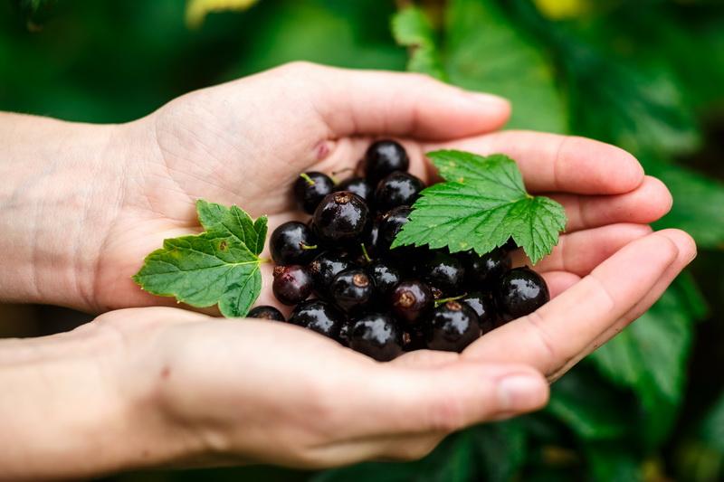 Секреты получения обильного урожая смородины