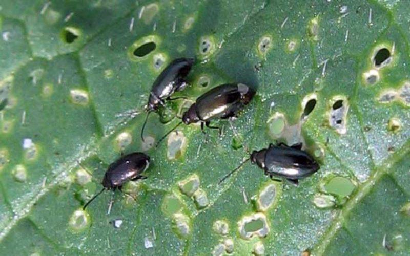 Черная крестоцветная блошка: чем обработать капусту, чтобы спасти урожай