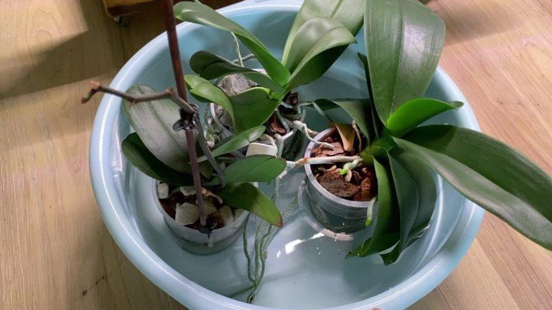 Как правильно и без досадных ошибок поливать орхидеи