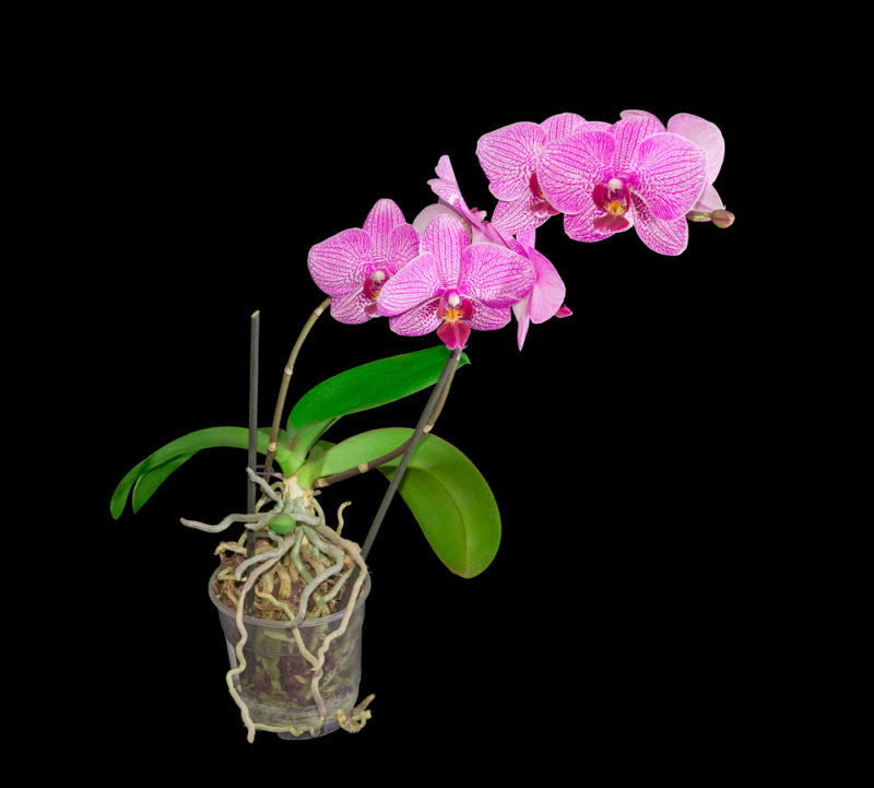 Ошибки, которые гарантированно загубят вашу орхидею