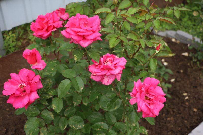 Черенкование роз осенью: правила, тонкости и хитрости