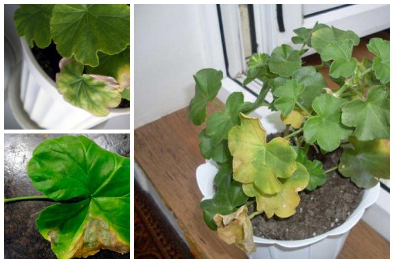 Пожелтели листья герани: основные причины, способы предотвращения и борьбы