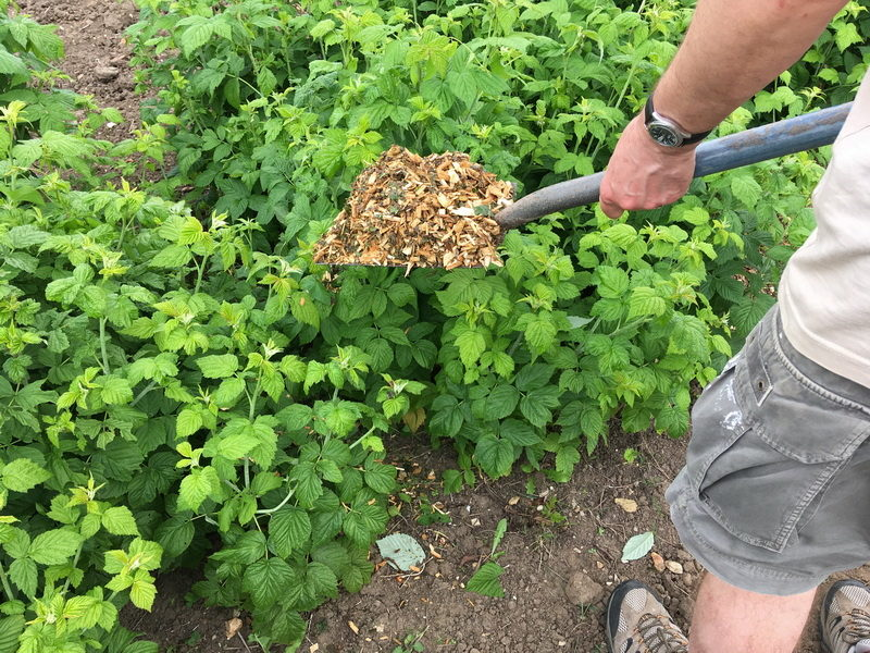 Почему у кустов малины появляются сухие ветки и как от этого избавится