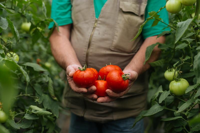 Удачные сорта томатов для огородной коллекции