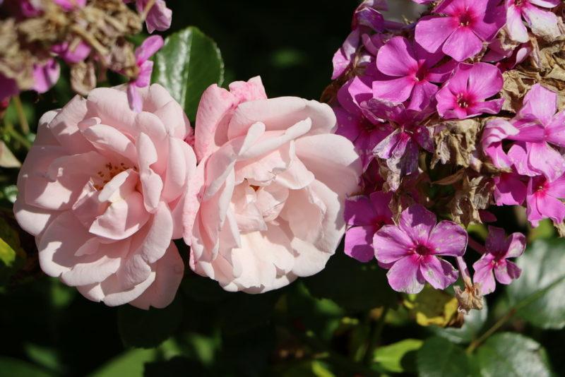 Как подобрать наиболее подходящих соседей для царственных роз?