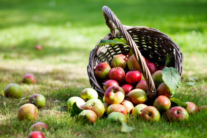 Раннее созревание и великолепный вкус: самые лучшие сорта летних яблок
