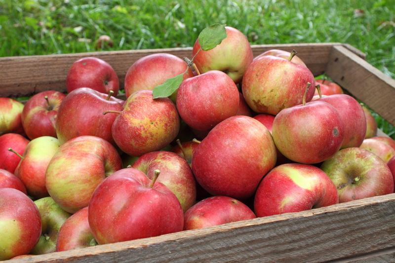 Старая добрая классика. Описания старинных сортов садовых яблонь