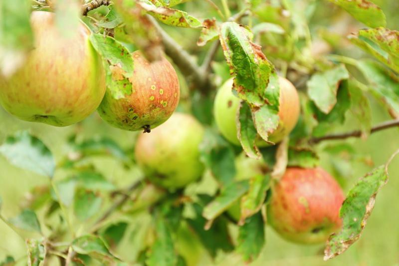 Какие яблони можно встретить в лесу