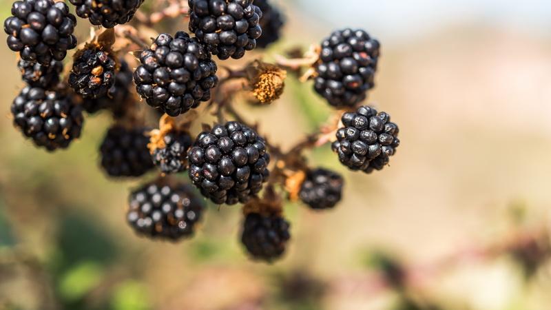 Как размножать черную малину и ежевику