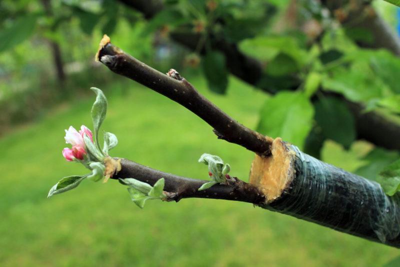 Омолаживающая обрезка и перепрививка — вторая жизнь для дерева