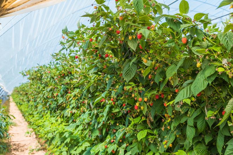 5 насекомых, которые вредят урожаю малины