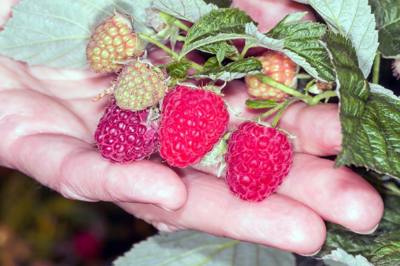Сезонная обрезка малины: основные правила