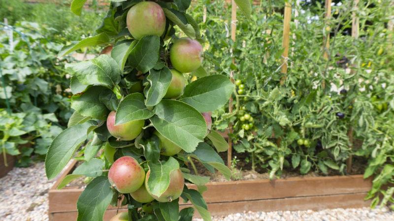 Как грамотно обрезать яблони разного возраста в весеннее время года