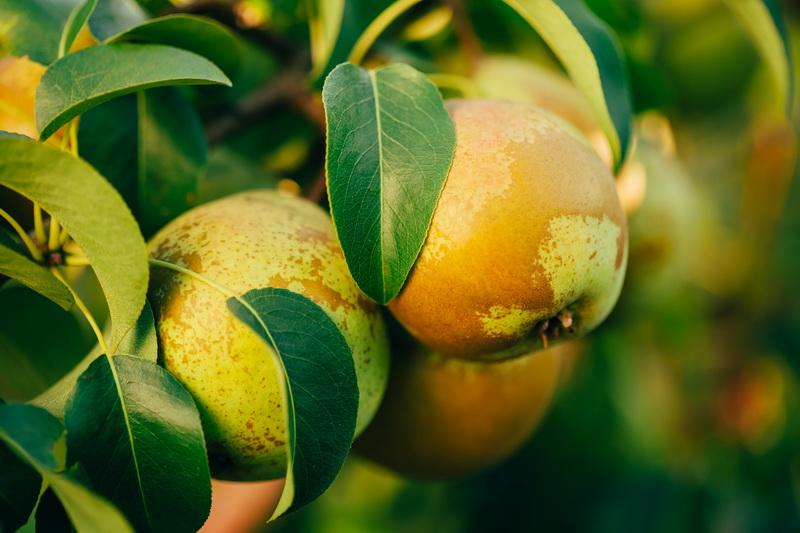 Чудо селекции: удивительные китайские груши для вашего сада