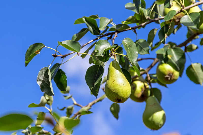Осень — в каком уходе нуждаются плодовые деревья в конце сезона