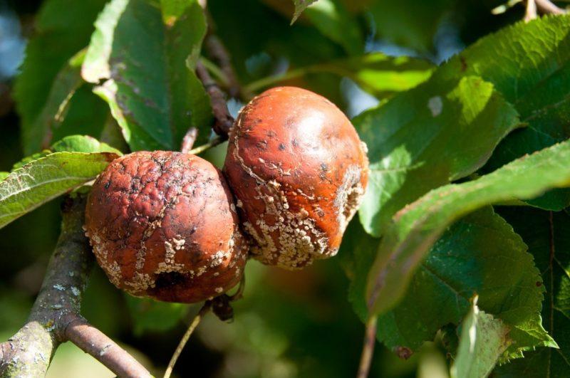 Что такое монилиоз и как противостоять этой опасной для яблонь болезни