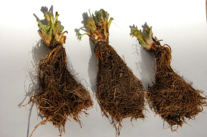 Рассада клубники фриго: как получить богатый урожай