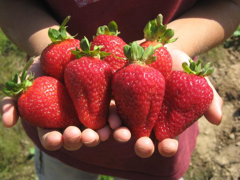 Лучшие сорта садовой земляники, которые плодоносят с начала лета до первых заморозков