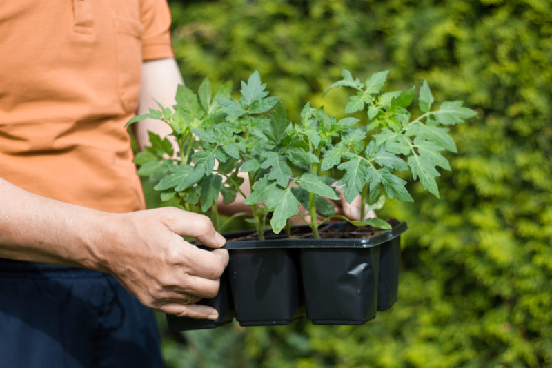 Как правильно провести процедуру пикировки рассады томатов