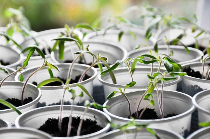 Собираем и сохраняем семена томатов в домашних условиях