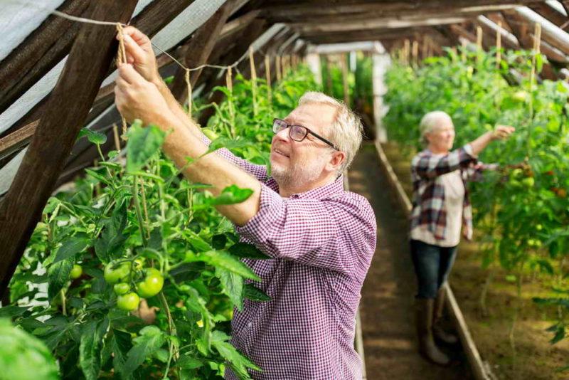 Впечатляющие урожаи томатов в теплице — что делать, чтобы собирать только такие